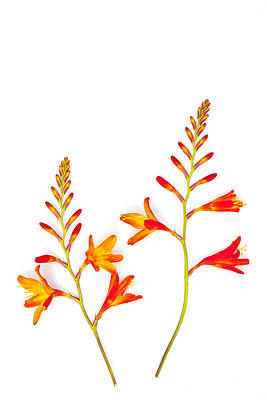 Crocosmia On White Poster by Carol Leigh
