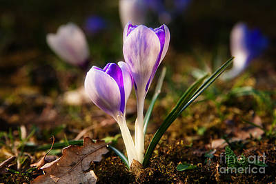 Poster featuring the photograph Crocus by Christine Sponchia