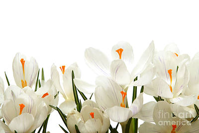 Crocus Flower Poster by Boon Mee