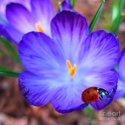 Crocus Flower With Ladybug Poster