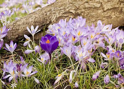 Crocus Garden In Spring Poster