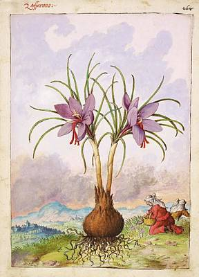 Crocus Sativus Flowers Poster
