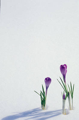 Crocuses In The Snow Poster by Anonymous