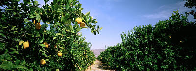 Crop Of Lemon Orchard, California, Usa Poster by Panoramic Images
