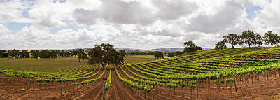 Crops In A Vineyard, San Luis Obispo Poster by Panoramic Images