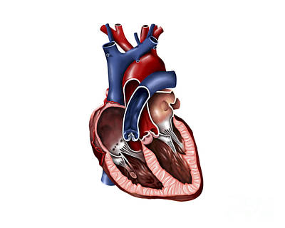 Cross Section Of Human Heart Poster by Stocktrek Images