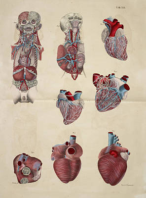 Cross Section Of Torso And Head Poster by British Library