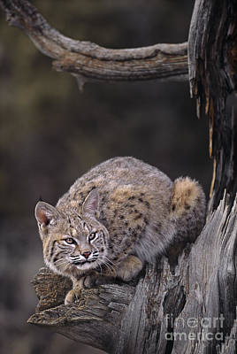 Poster featuring the photograph Crouching Bobcat Montana Wildlife by Dave Welling