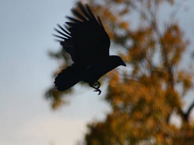 Crow In Flight 2 Poster by Gothicrow Images