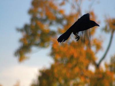Crow In Flight 3 Poster