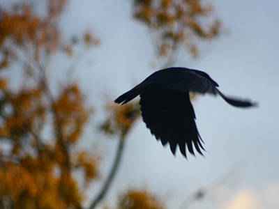 Crow In Flight 4 Poster by Gothicrow Images