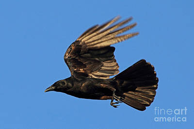 Poster featuring the photograph Crow In Flight by Meg Rousher