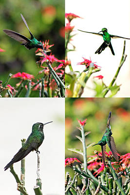 Cuban Emerald Hummingbird Poster by Dawn Currie