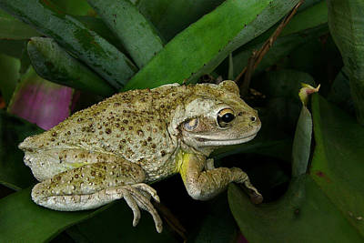 Cuban Tree Frog And Bromeliad. Poster