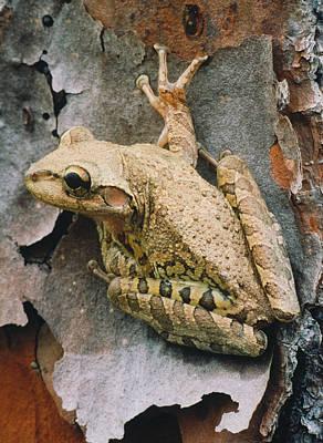 Cuban Tree Frog Poster by David N. Davis