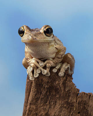 Cuban Tree Frog Poster by David Williams