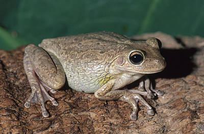 Cuban Treefrog Poster