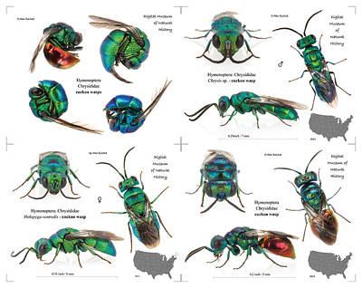 Cuckoo Wasp Poster