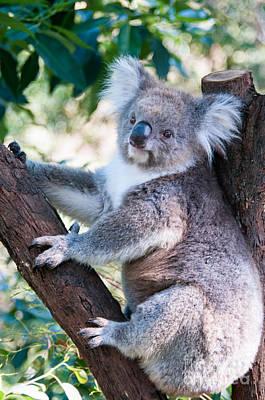 Cuddly Koala Poster