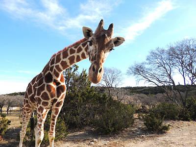 Curious Giraffe At Fossil Rim Wildlife Center Poster