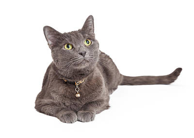 Curious Grey Domestic Shorthair Cat Looking Up Poster