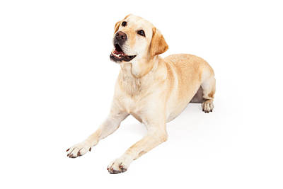 Curious Labrador Retriever Dog Laying At An Angle Poster