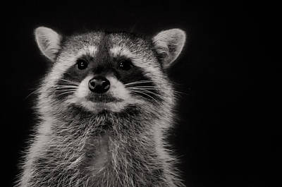 Curious Raccoon Poster