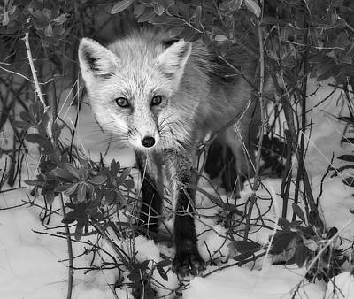 Curious Red Fox Bw Poster