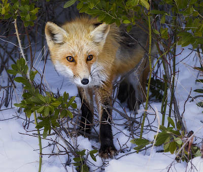 Curious Red Fox Poster