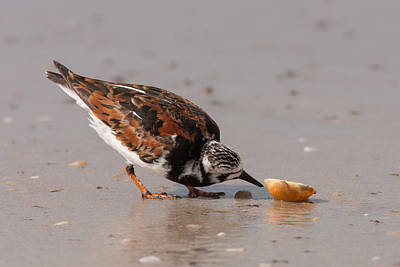 Curious Turnstone Poster by Paul Rebmann