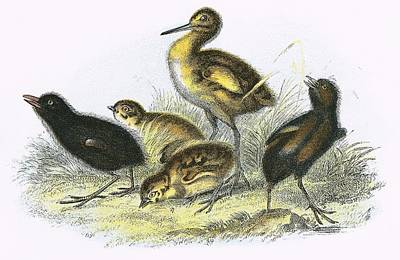 Curlew, Land Rail, Partridge And  Moor Hen Clockwise Poster by English School