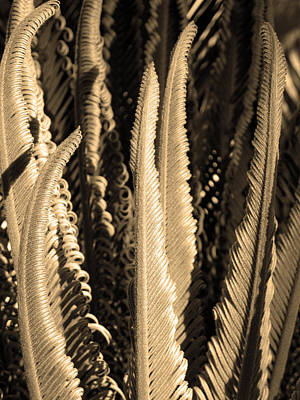 Curly Swords. Sago Palm In Sepia Poster by Connie Fox