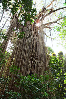Curtain Fig Tree  Poster