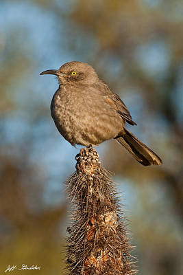Curve-billed Thrasher On A Cactus Poster