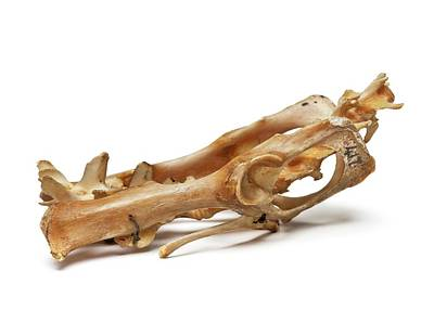 Cuscus Skull Poster