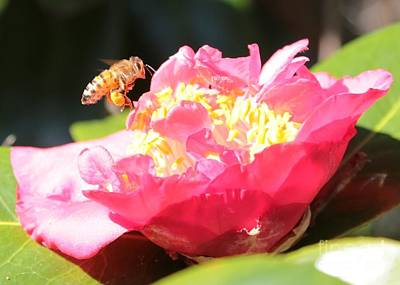 Cute Bee On Camellia Poster by Carol Groenen