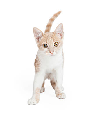 Cute Domestic Shorthair Kitten Standing  Poster