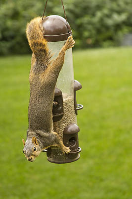Cute Hanging Squirrel Poster