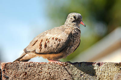 Cute Inca Dove Poster by Robert Bales