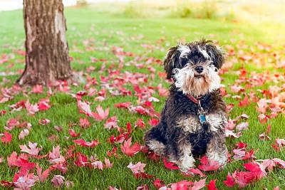 Cute Mini-schnauzer Dog Poster