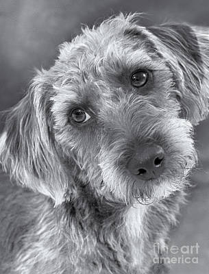 Cute Pup In Black And White Poster by Natalie Kinnear