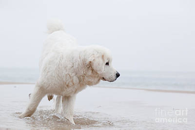 Cute White Dog Playing On The Beach Poster