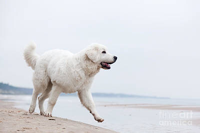 Cute White Dog Walking On The Beach Poster