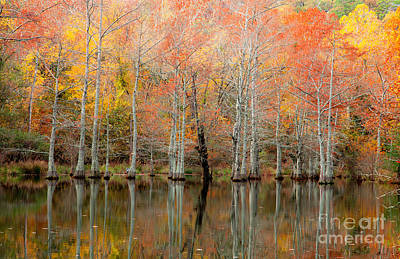 Cypress Forest In Fall Poster by Iris Greenwell