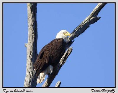 Cypress Island Eagle Poster