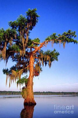 Cypress Tree Draped In Spanish Moss Poster by Thomas R Fletcher