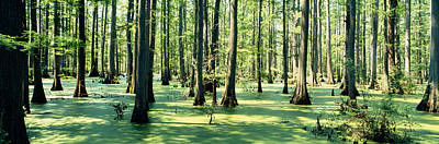 Cypress Trees In A Forest, Shawnee Poster