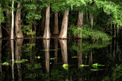 Cypress Trees In Suwanee River Poster by Sheila Haddad
