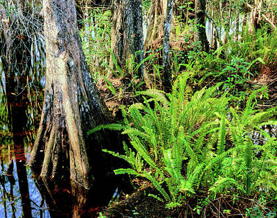 Cypress Trees In Swamp, Six Mile Poster