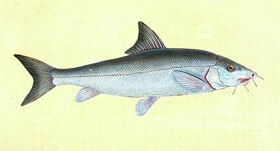 Cyprinus Barbus, Barbel, British Fishes, Donovan Poster